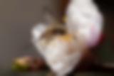 Schwebfliege auf einer Mirabellenblüte