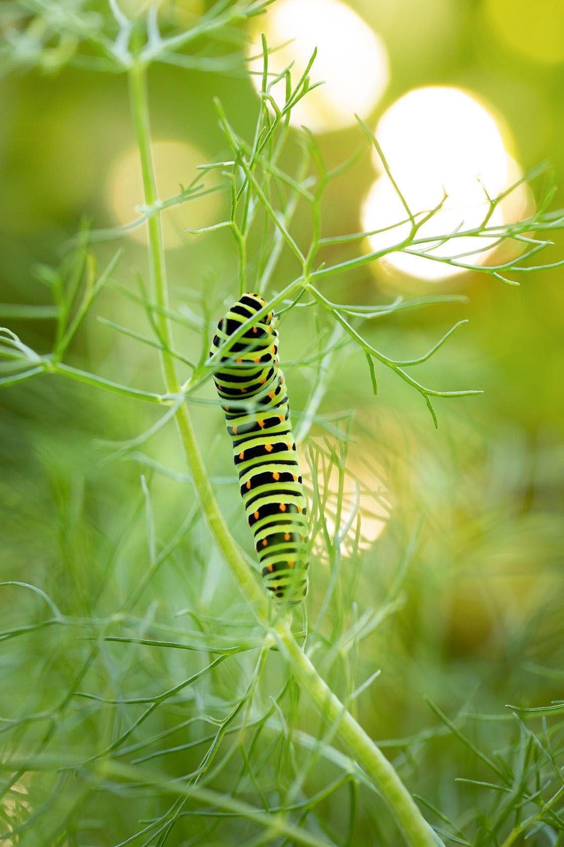 Schwalbenschwanz-Raupe auf einer Fenchelpflanze