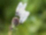 Baumweisslinge bei der Paarung
