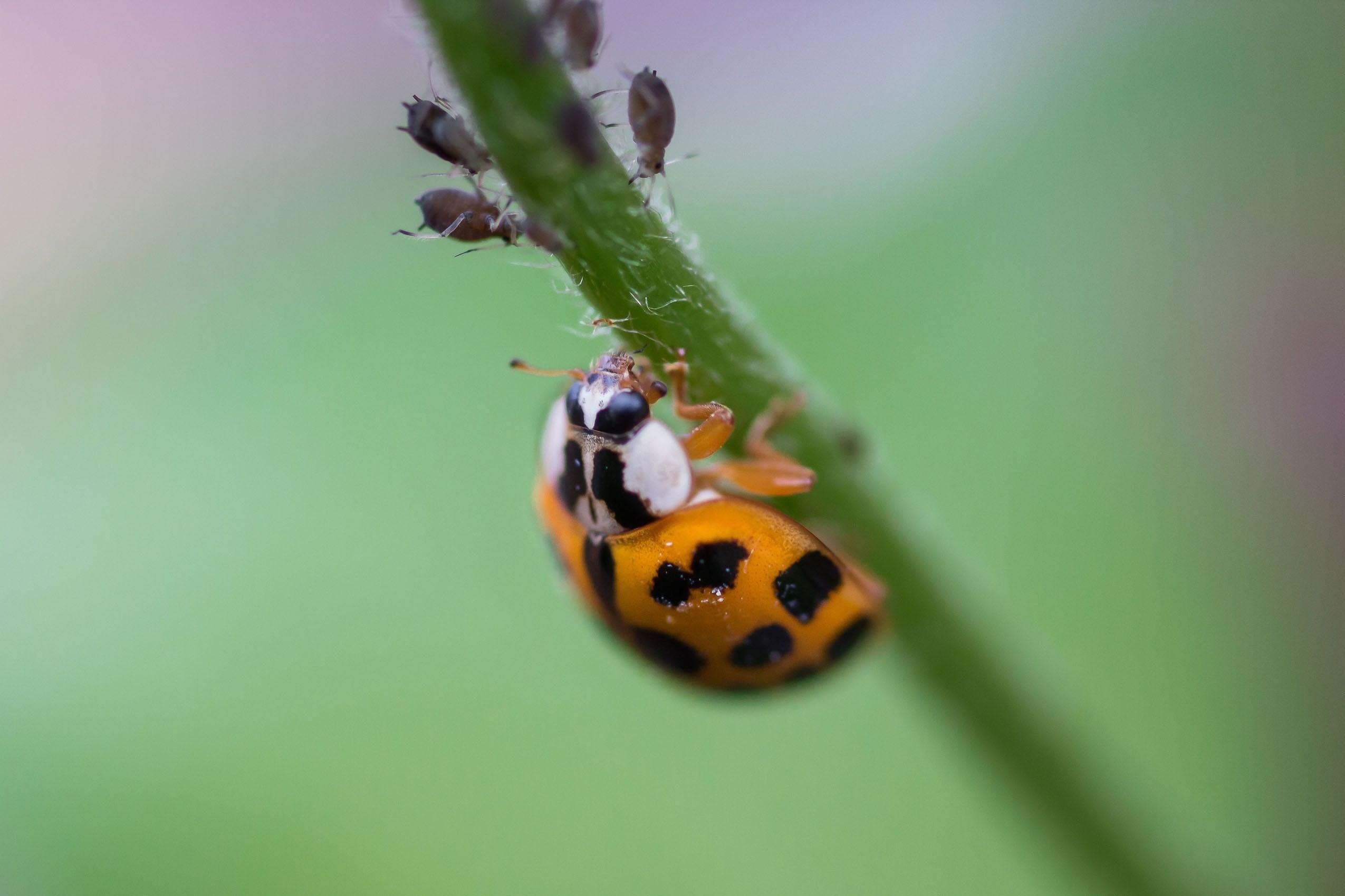 Marienkäfer macht Jagd auf Blattläuse