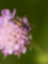 Kleiner Schmalbock auf einer Wittwenblume