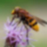 Schwebfliege auf einer Acker-Kratzdistel