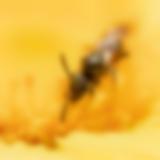 Schmalbiene auf einer Ringelblume