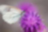 Baumweissling auf einer Skabiosen-Flockenblume