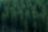Tannen im Schwarzwald