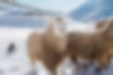 Border Collie und Schafe im Schnee