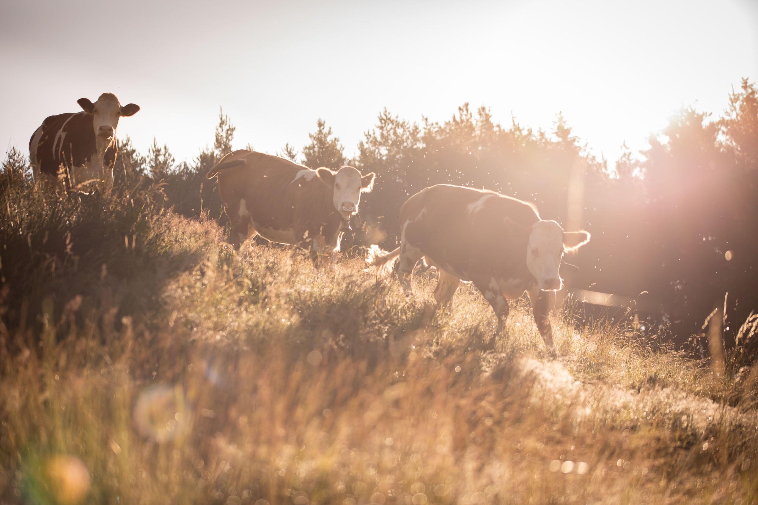 Kühe in der Morgensonne