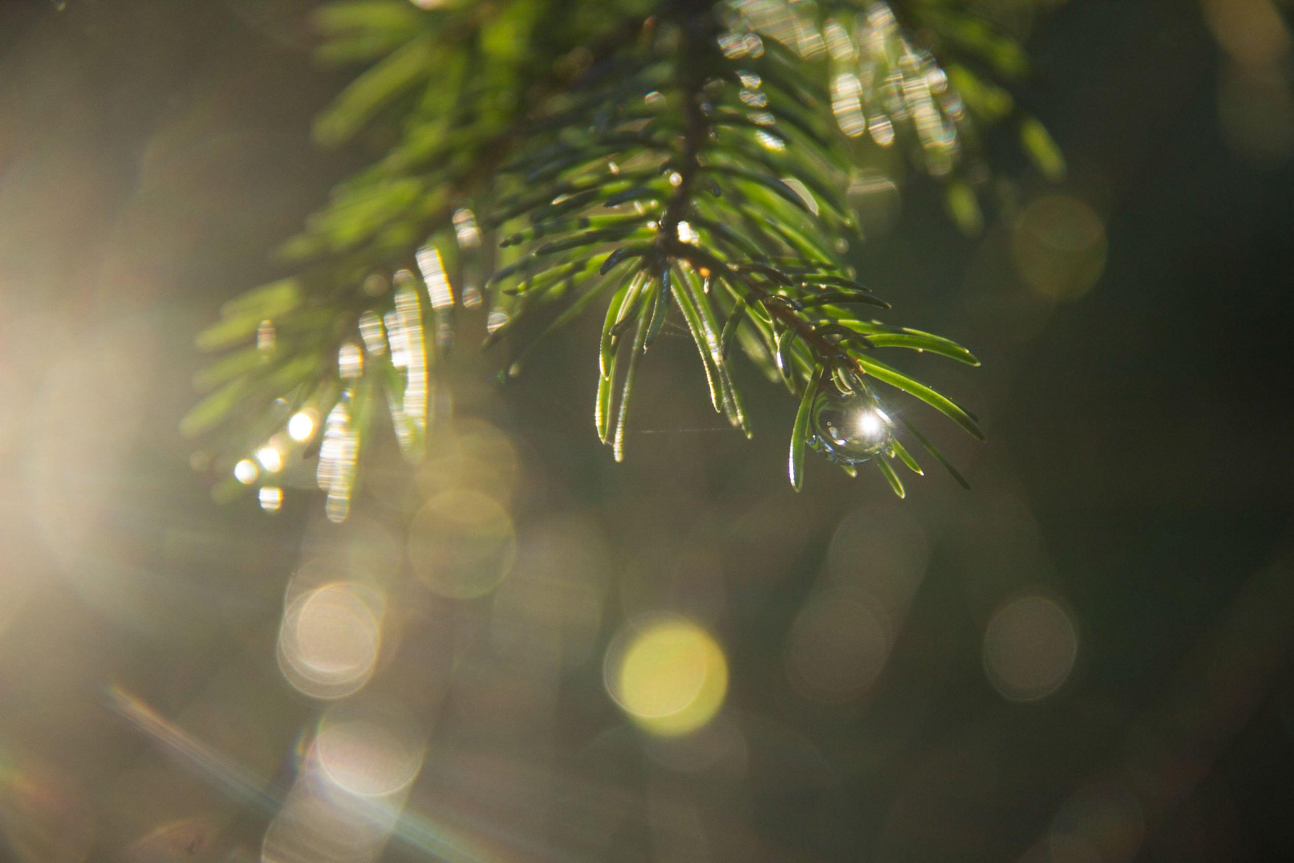 Nasser Tannenzweig leuchtet in der Sonne