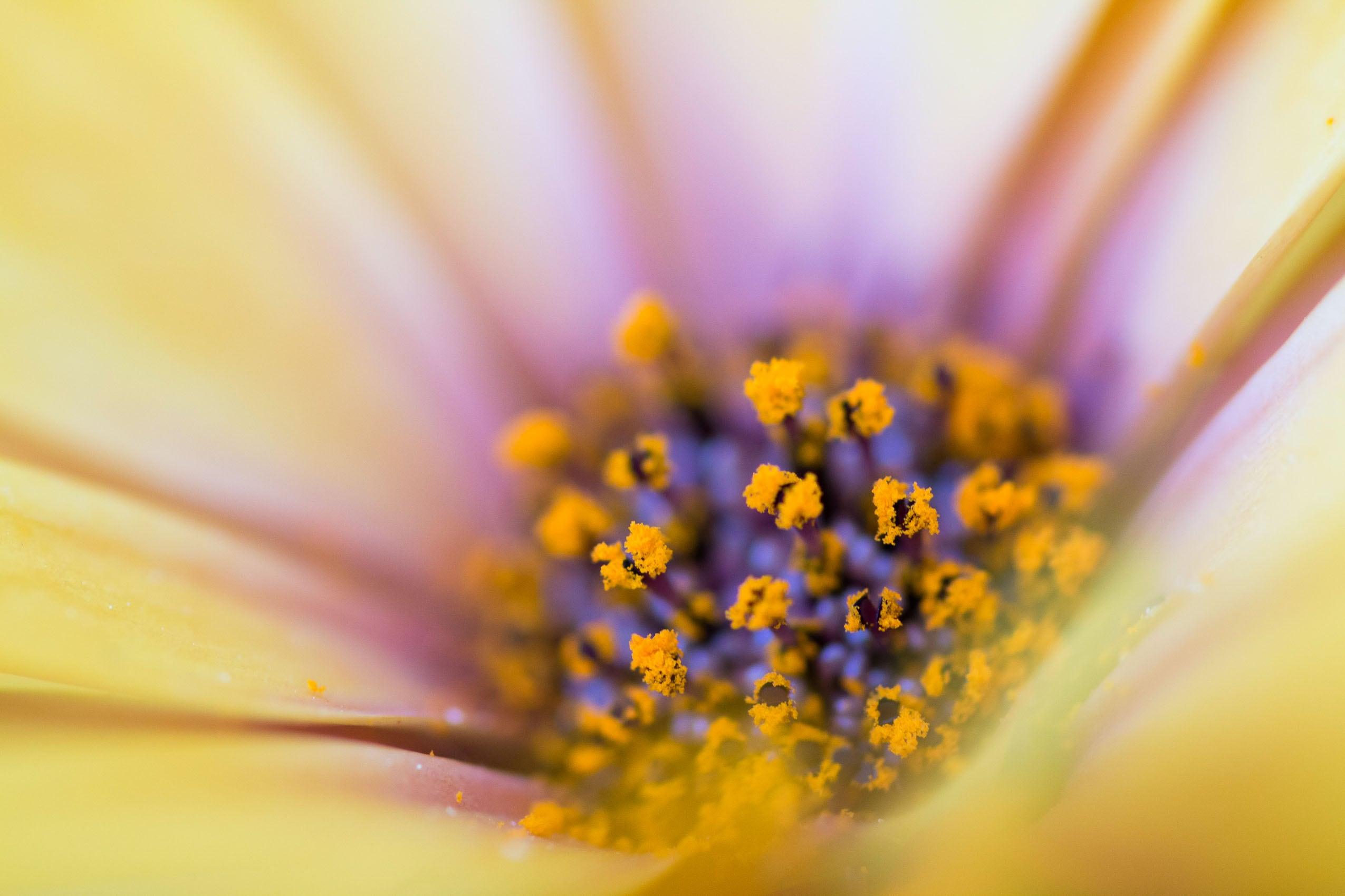 Nahaufnahme von Blütenpollen